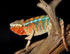 cropped chameleon